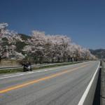 ▲R173村雲あたりの桜並木