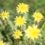 ▲桜が終わると、タンポポや菜の花の黄色が可愛らしかったです。